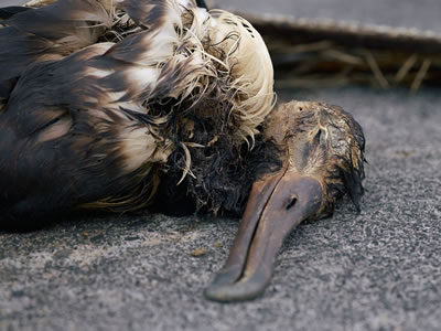albatross chick dead from eating plastic