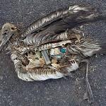 Albatross_Eats_Plastic