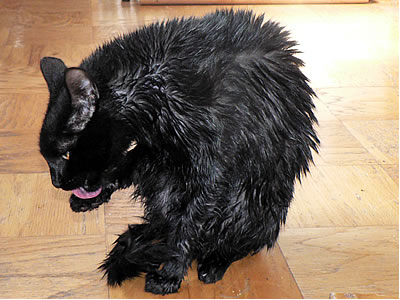Wet pissed off cat after a bath