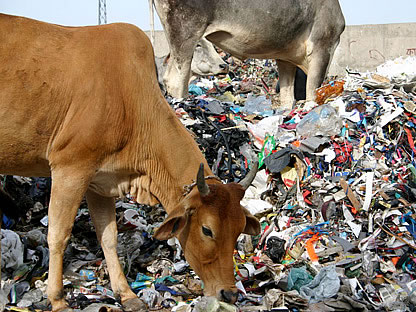 Cows eat plastic
