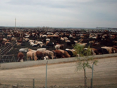 Harris Ranch feedlot sucks