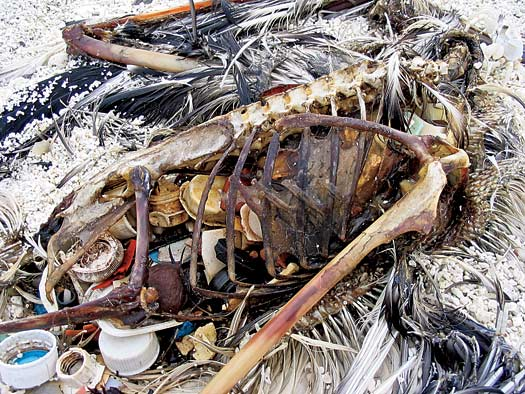 dead albatross filled with plastic pieces