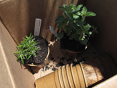 herbs transferred to Ecoforms pots