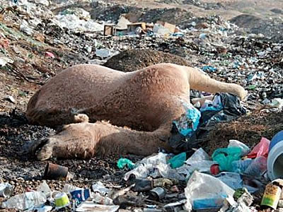 plastic kills camels Speaking for the Voiceless